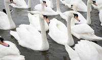 Picture of a bevy of swans